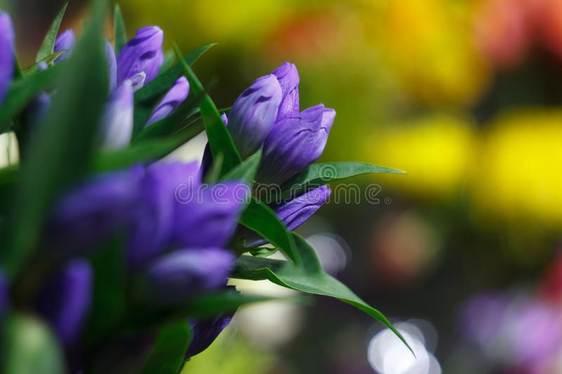 Extreme close-up of a bouquet of fresh alstroemeria flowers, closed buds on a blurred background of a flower shop. Extreme close up of a bouquet of fresh stock photos