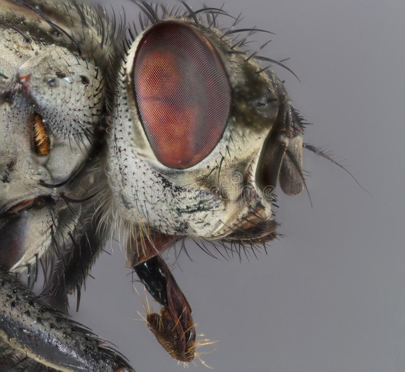 Macro shot of a domestic fly. Extreme close up of a domestic fly , focus stacking royalty free stock photos