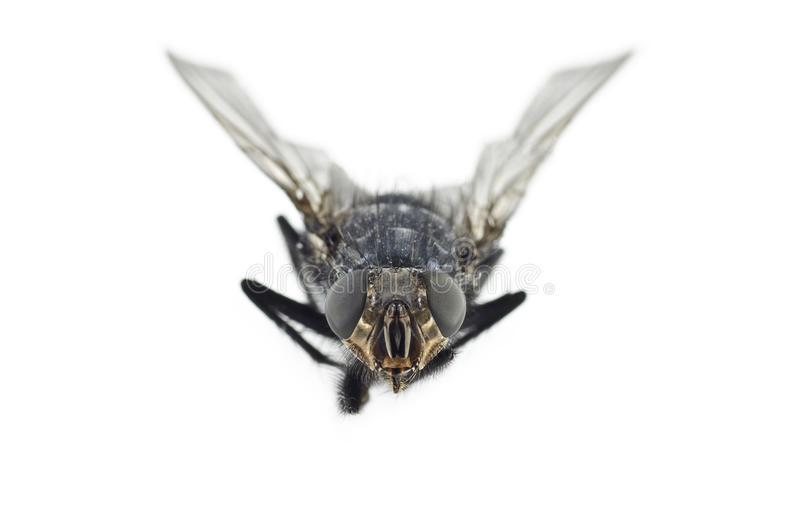 Extreme Close Up of Fly Insect stock photography
