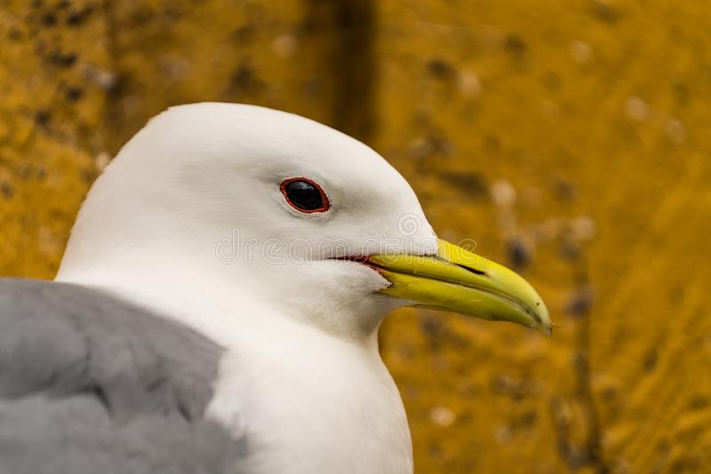 Extreme close up of the head of a Kittiwake Rissa tridactyla stock images