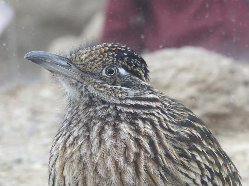 Extreme close up of the head and upper body of a roadrunner with crest folded in royalty free stock photography
