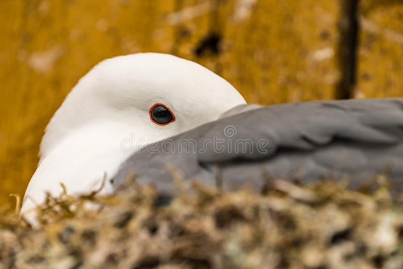 Extreme close up of a Kittiwake Rissa tridactyla nesting on a ledge on the side of a wooden building royalty free stock photo