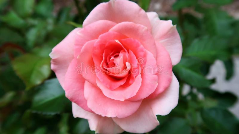 Extreme close-up of a pink rose. This is an extreme close-up of a pink rose in a park royalty free stock photos