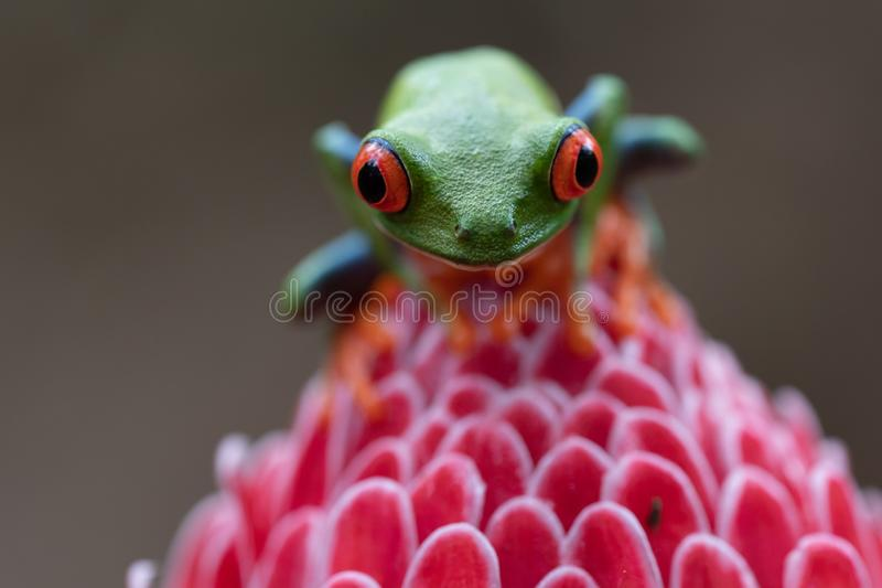 Extreme close up of red and green tree frog on pink flower. In Costa Rica stock photography