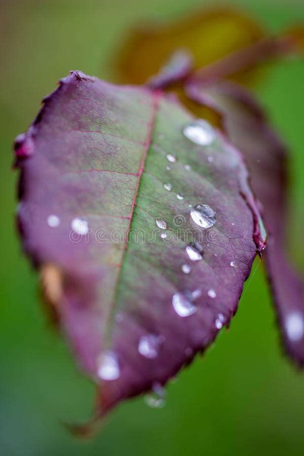 Damp rose leaf after rain shower stock images