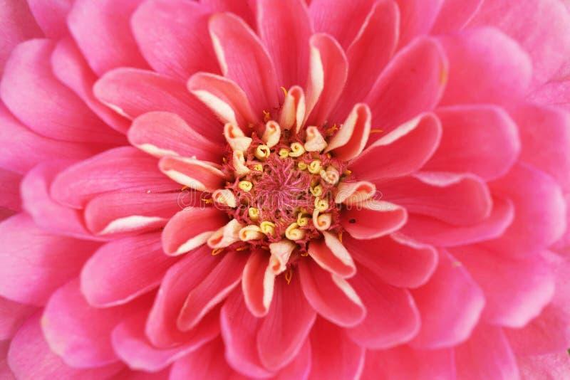 Extreme close up shot of zinnia flower stock image