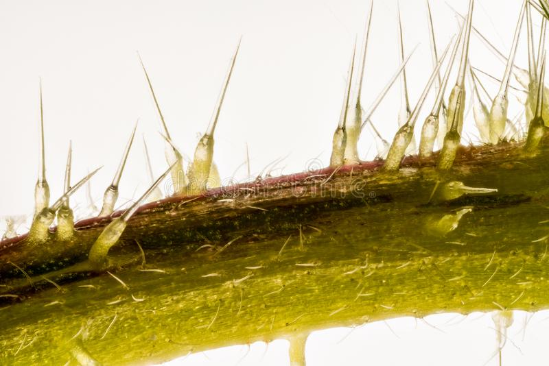 Extreme close up of of stinging nettle stemUrtica dioica royalty free stock image