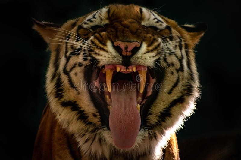 Close up of a tiger making a funny face. Extreme close up of a tiger making a funny face. black background stock images
