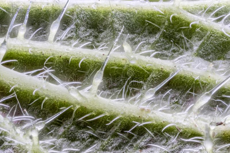 Extreme close up of underside of stinging nettle leaf Urtica di stock photo