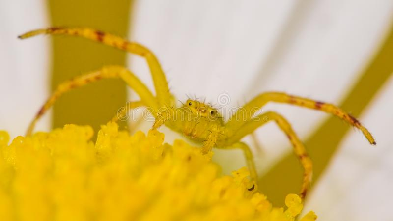 Extreme close-up van een gele waarschijnlijke noordelijke de krabspin van de krabspin op een gele en witte bloem stock fotografie