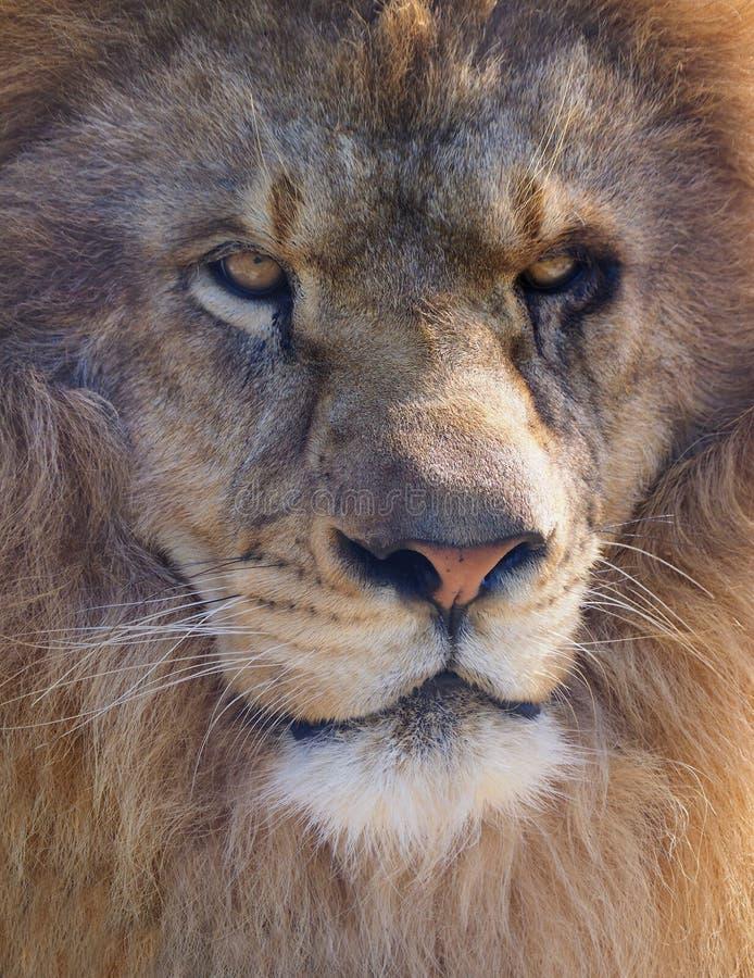 Extreme Close-up van een Mannelijke Afrikaanse Leeuw stock foto