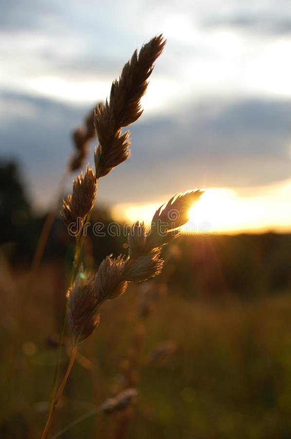 Extreme closeup of Barnyard Grass backlit by the rising sun royalty free stock photo