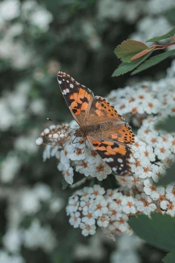 Extreme closeup of a beautiful orange butterfly on white flowers in a park. An extreme closeup of a beautiful orange butterfly on white flowers in a park stock images
