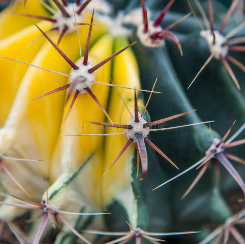 Extreme closeup of cactus spikes royalty free stock images
