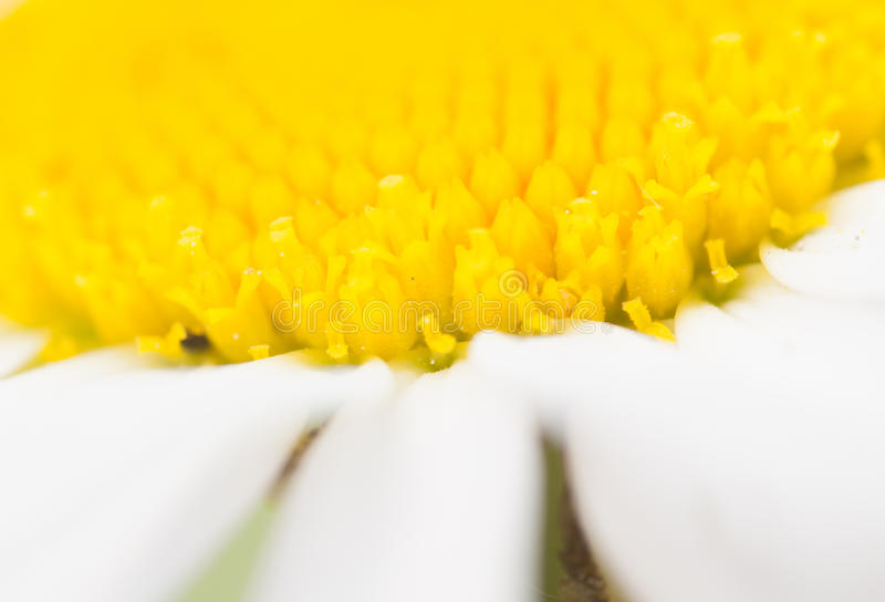 Extreme closeup of daisy stock photography