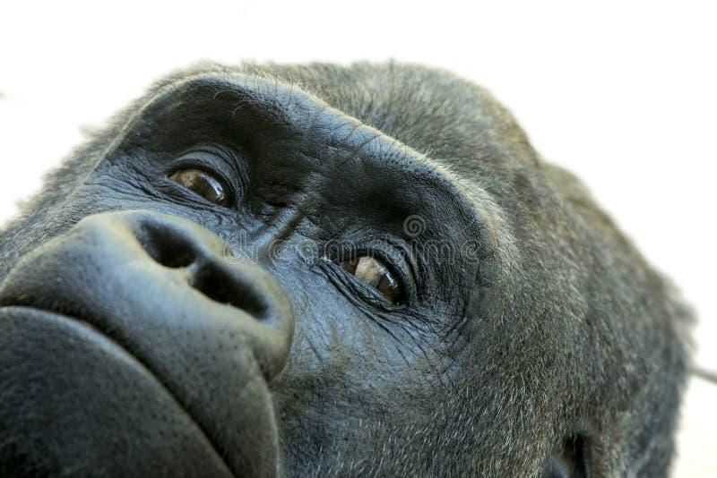 Extreme closeup of face of gorilla stock photography