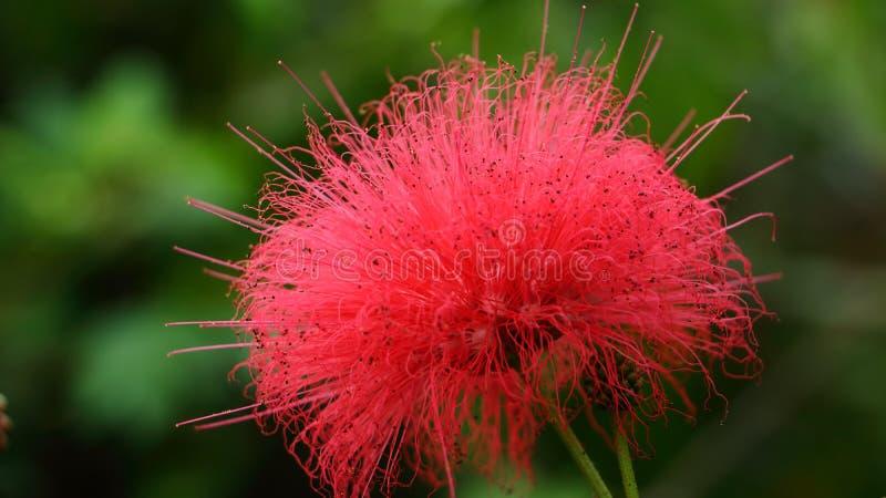 Mimosa tree blossom or powderpuff bloom , Calliandra Surinamensis, Mimosaceae family, Pink powder puff, Surinamese stickpea, Surin royalty free stock photography