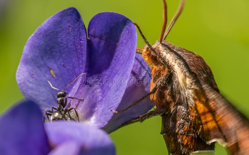 Extreme closeup of nessus sphinx moth and ant hanging out together on a purple wildflower in Theodore Wirth Park in Minneapolis stock images