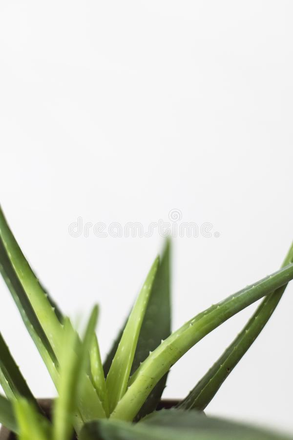 Extreme closeup shot of agave plant leaves stock image