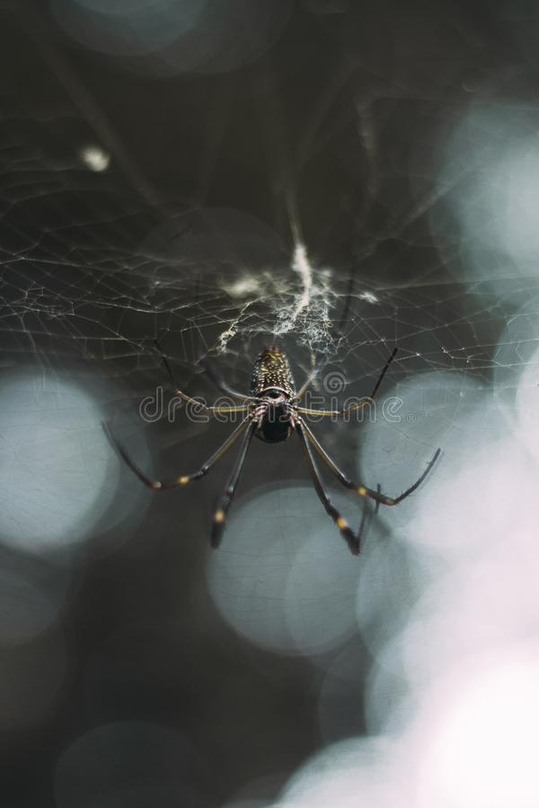 Extreme closeup shot of a black and white spider knitting a spider web in a forest stock photos