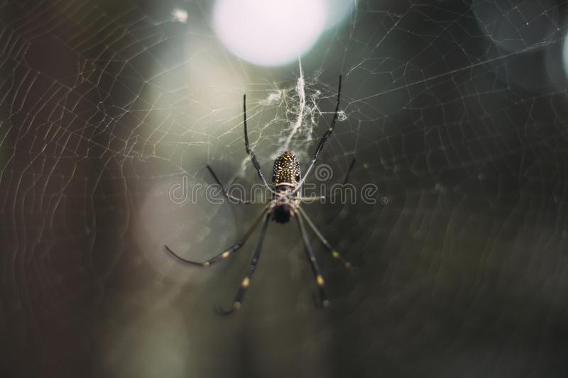 Extreme closeup shot of a black and white spider knitting a spider web in a forest stock image