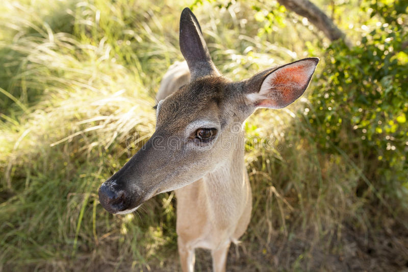 Extreme closeup wide angle shot of deer royalty free stock images