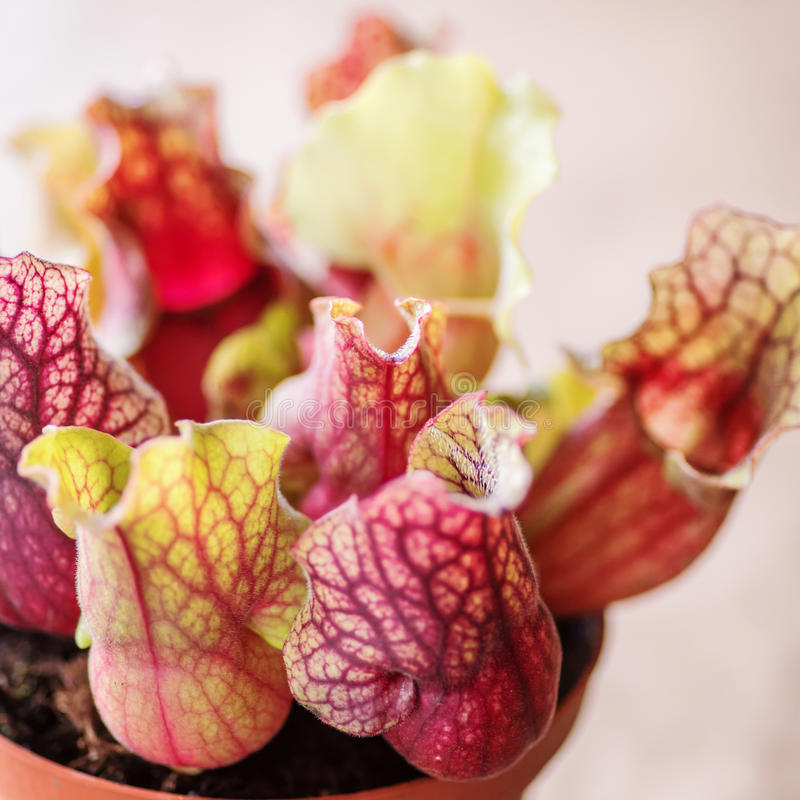 Extreme coseup of Sarracenia- carnivore plant. Sarracenia- pitcher plant, beautiful carnivore plant stock image