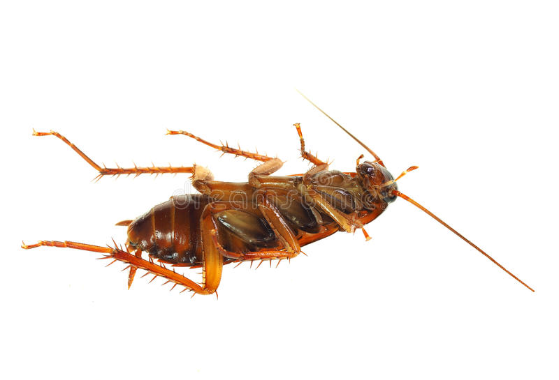 Extreme Depth of Field Photo of a Dead Roach royalty free stock image