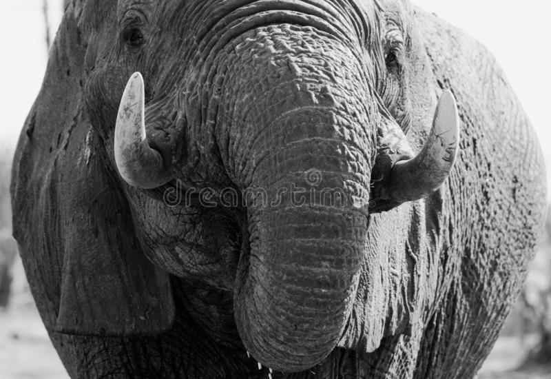 Extreme dichte omhooggaand van een Afrikaans olifantsgezicht en slagtanden royalty-vrije stock foto