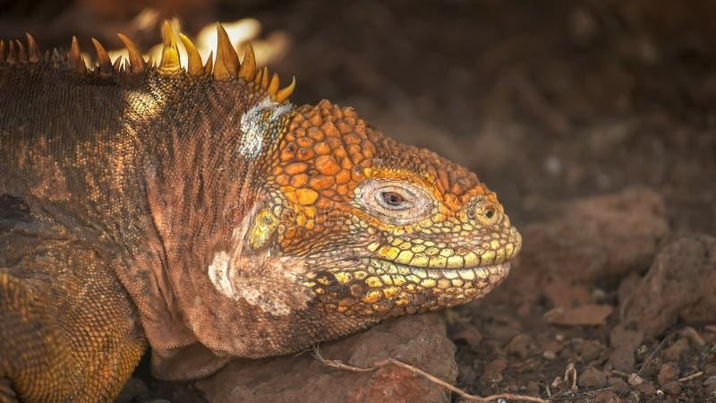 Extreme dichte omhooggaand van een landleguaan op het noorden seymour eiland in de Galapagos royalty-vrije stock afbeeldingen