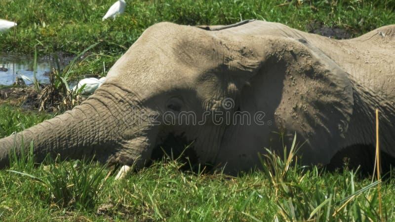 Extreme dichte omhooggaand van een olifant en een kalf die bij amboseli in Kenia eten stock foto