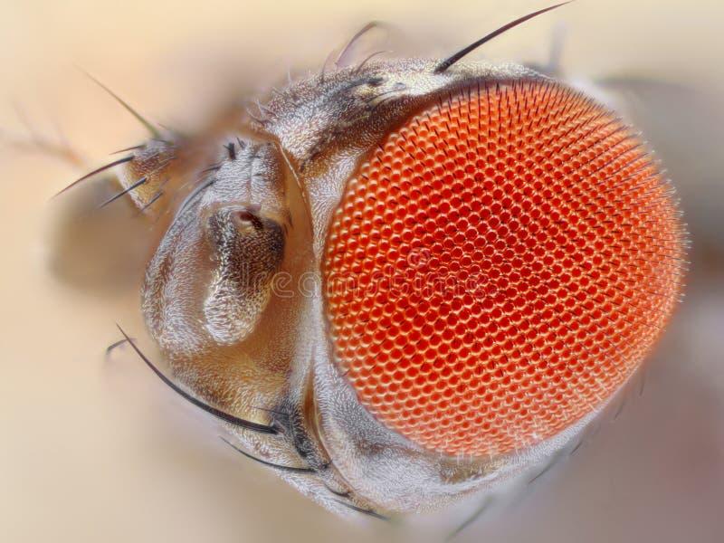 Het oog dichte omhooggaand van de fruitvlieg stock fotografie