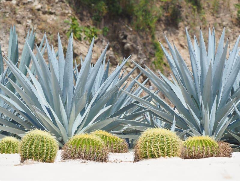 Extreme Diepte van Gebiedsfoto van Blauwe Yucca en Vatcactus royalty-vrije stock foto's