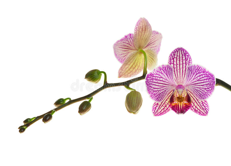 Extreme Diepte van Gebiedsfoto van een Nieuwe Orchideebloei en Knoppen stock afbeeldingen