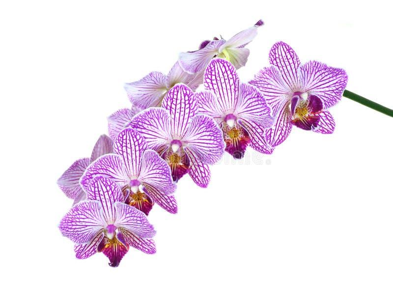 Extreme Diepte van Gebiedsfoto van Orchideebloei die op Wit wordt geïsoleerd, stock foto's