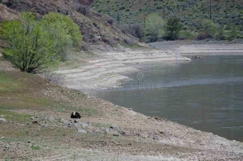 """Extreme Droogte Voorwaarden†""""Vee die naast een Leeg Reservoir rusten stock fotografie"""