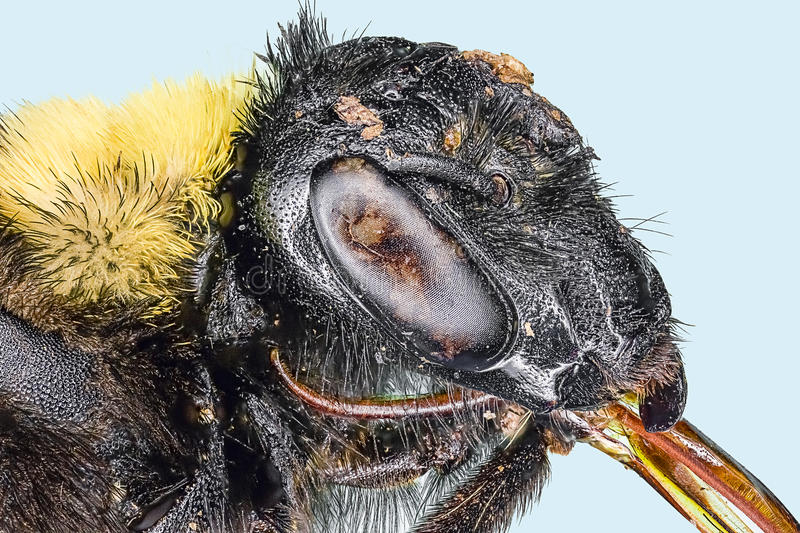 Download Extreme macro bumble bee stock image. Image of danger - 24150453