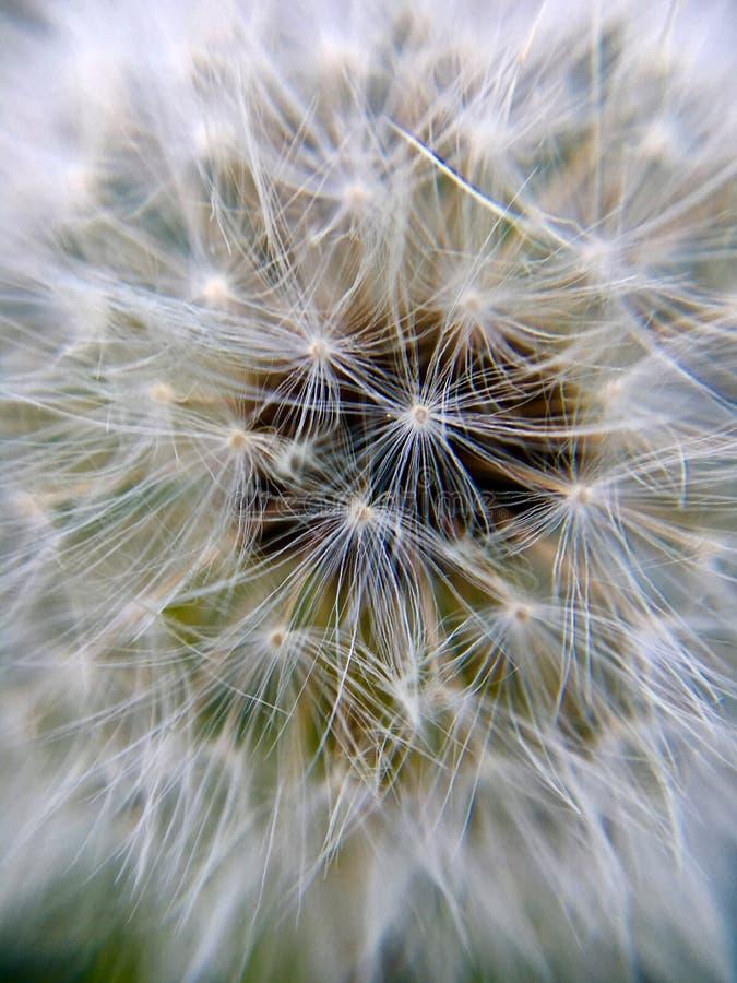 Extreme macro of a dandelion flower stock photos