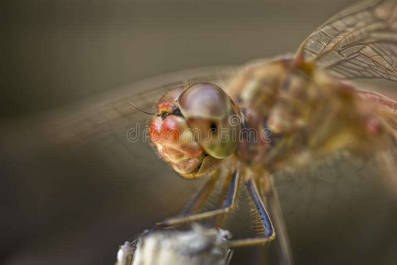 Extreme macro of the dragonfly. Sitting on a twig stock photo