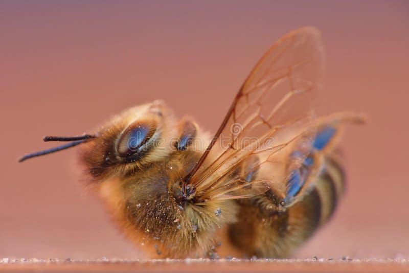 Hairy Bee - Close Up Macro Shot stock photography