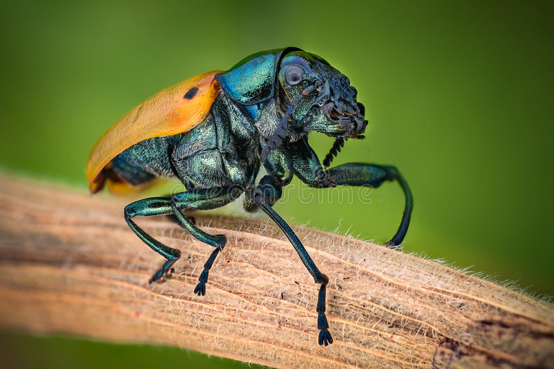 Extreme magnification - Jewel Beetle. Details stock photo