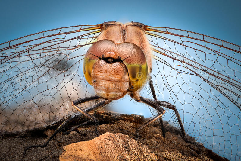 Extreme magnification - Portrait of Dragonfly stock image