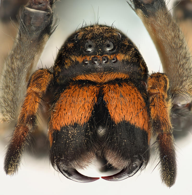 Extreme magnification - Wolf Spider fangs. Extreme magnification - Wolf Spider face and fangs royalty free stock image