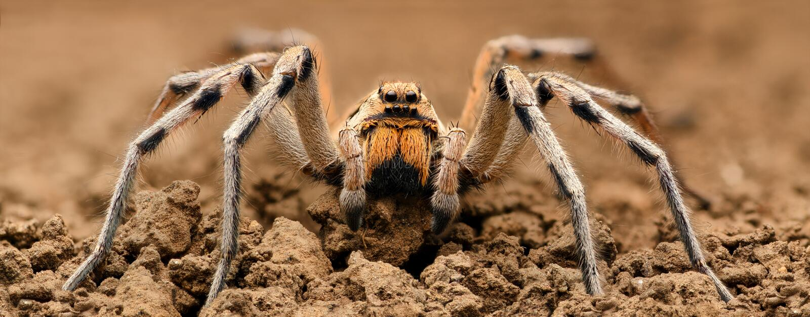 Extreme magnification - Wolf Spider, full body shot, high resolution. 2x stock photos