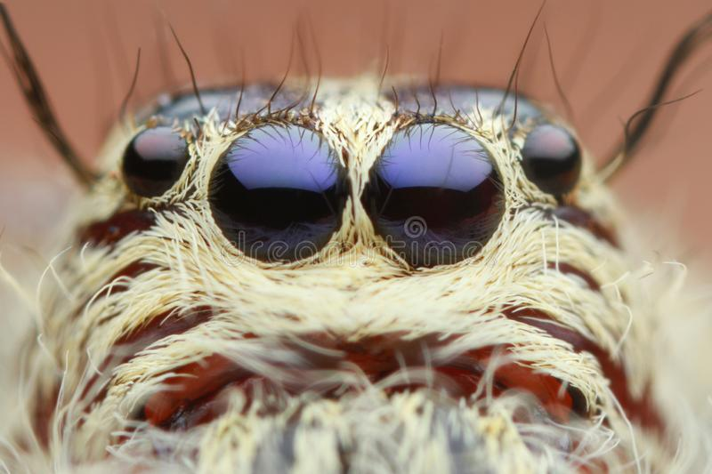 Extreme magnified jumping spider head and eyes. In nature outdoor stock images