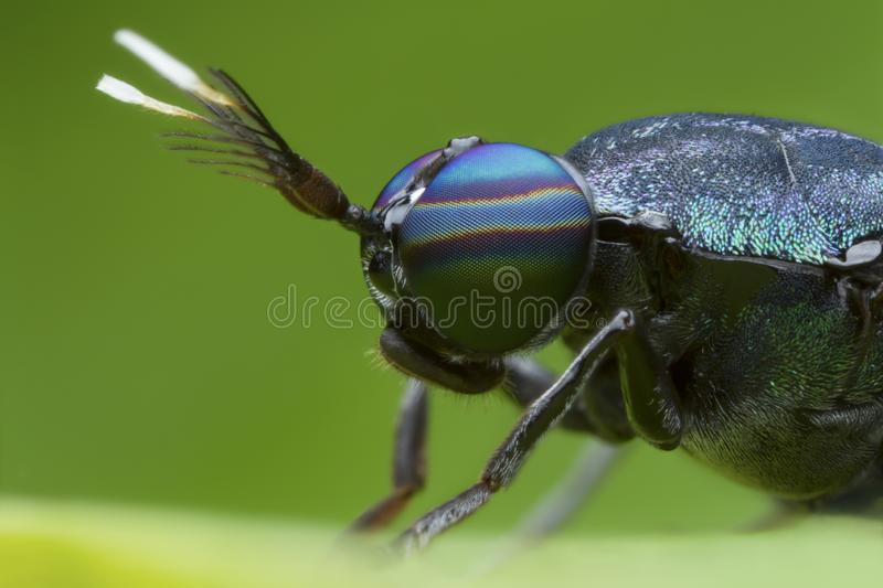 Extreme magnified soldier fly head and eyes. With green background royalty free stock photo