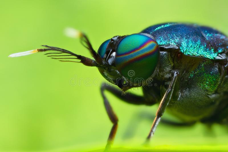 Extreme magnified soldier fly head and eyes. In nature outdoor royalty free stock photography