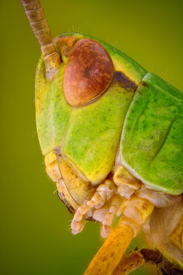 Extreme sharp and detailed macro portrait of Green grasshopper head taken with microscope objective. Stacked from many shots into one sharp photo stock photos
