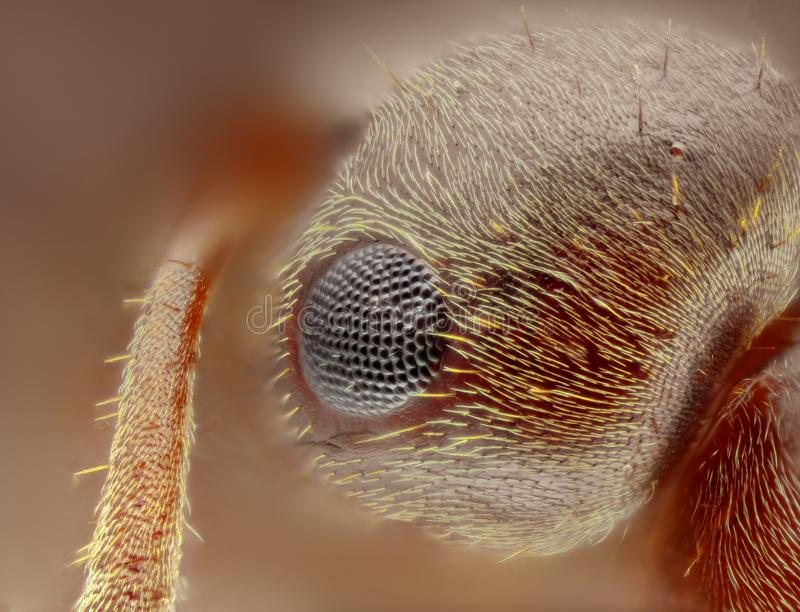 Extreme sharp and detailed study of formica ant head. Taken with 25x microscope objective stacked from many shots into one very sharp photo stock photo