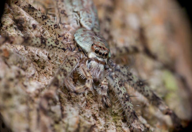 Extreme und nahe Ansicht von Lichen Huntsman Spider Pandercetes zart stockfotografie